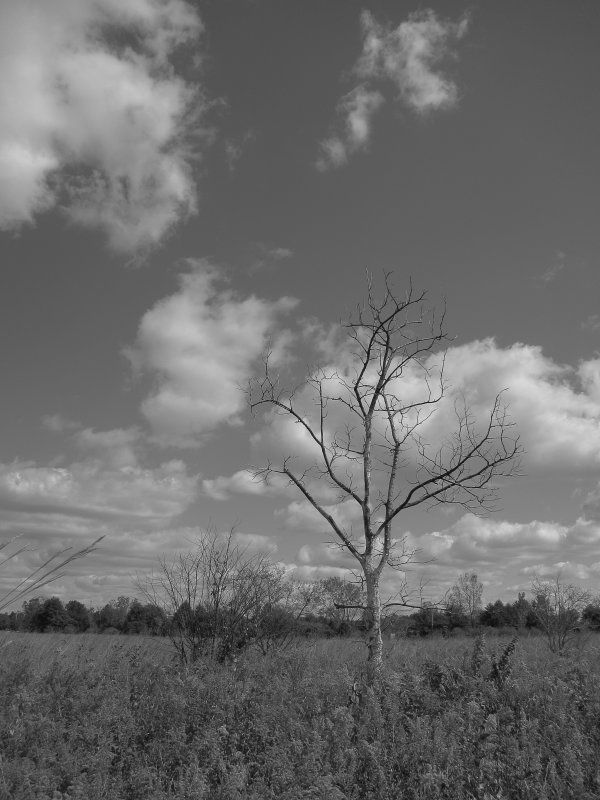 Meadowbrook Tree Black and White