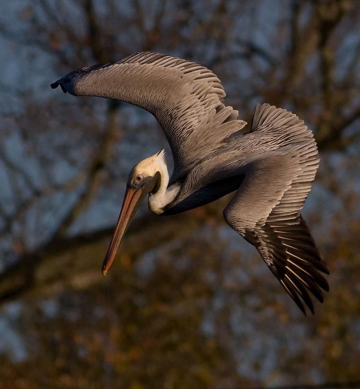 Pelican starts a dive