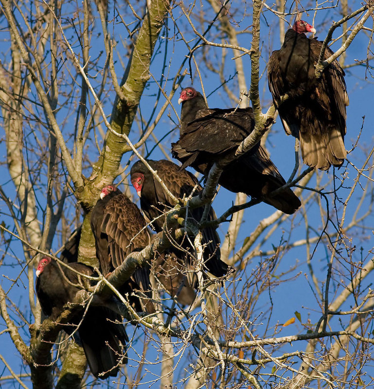 Turkey Vultures at roost
