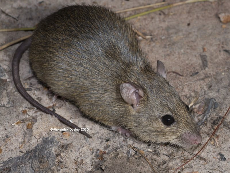 Rattus tunneyi, Pale Field Rat