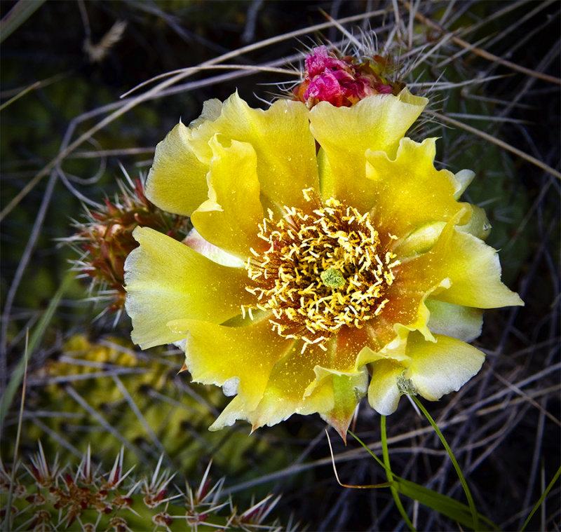 Flowering Dry Island Buffalo Jump Cactus