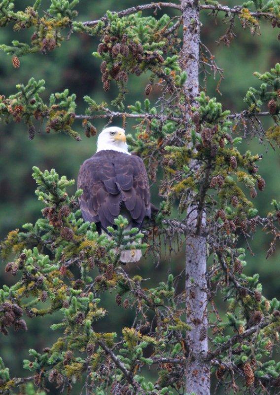 bald eagle - 2142