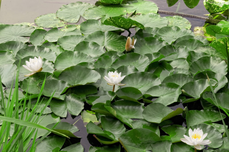 More Water Lilies