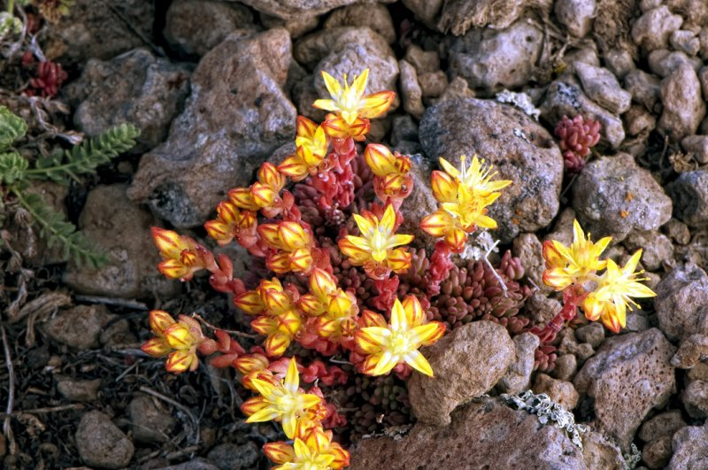 Flowers at the Steens