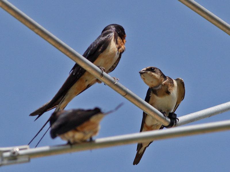 swallow-barn3404a.jpg