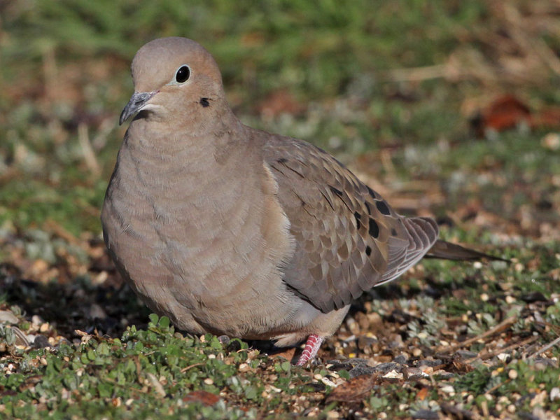 dove-mourning8353a.jpg