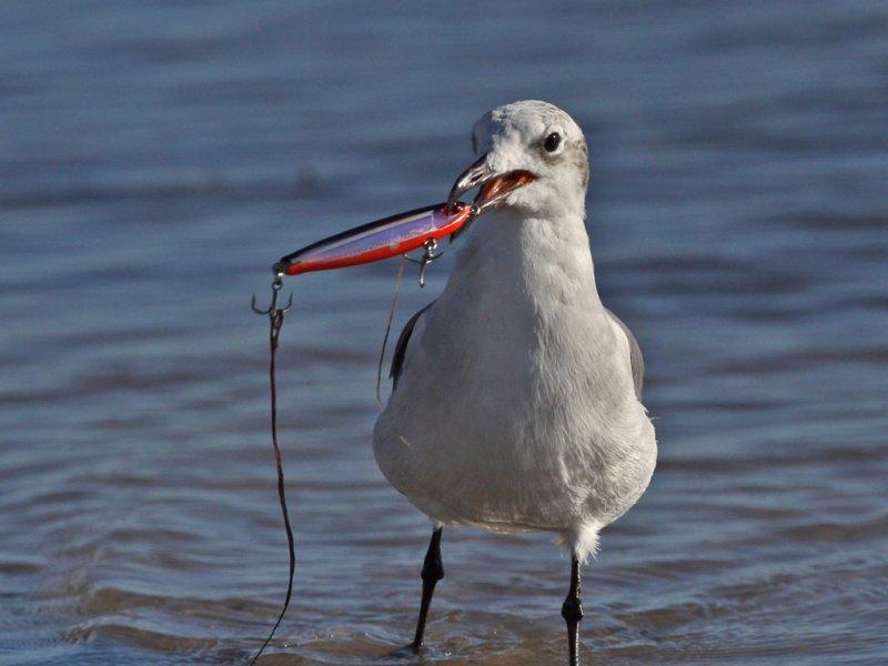 gull-laughing7641a.jpg