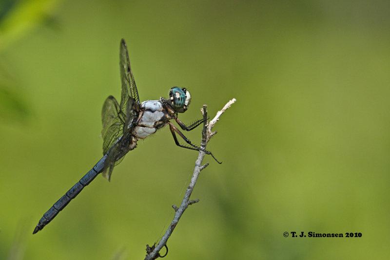 Great Blue Skimmer <i>(Libellula vibrans)</i>