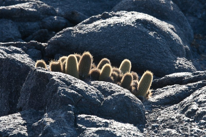 Lava cactuses