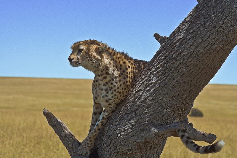 Cheetah sentry