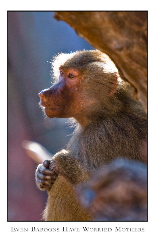 Even Baboons have Worried Mothers