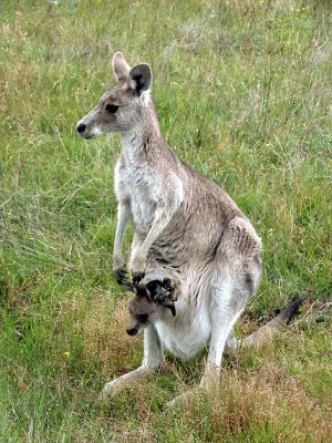 Eastern Grey Kangaroo female with pouch young
