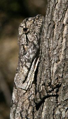 young Frillneck Lizard (Chlamydosaurus kingii)