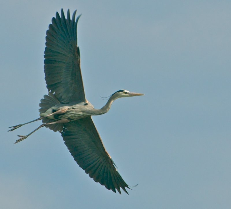 Great Blue Heron in flight (Place Holder)