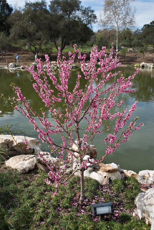 Flowing Plum tree