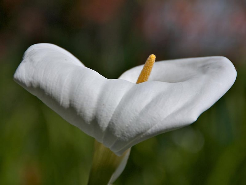 Calla Lilly or Lilly of the Nile