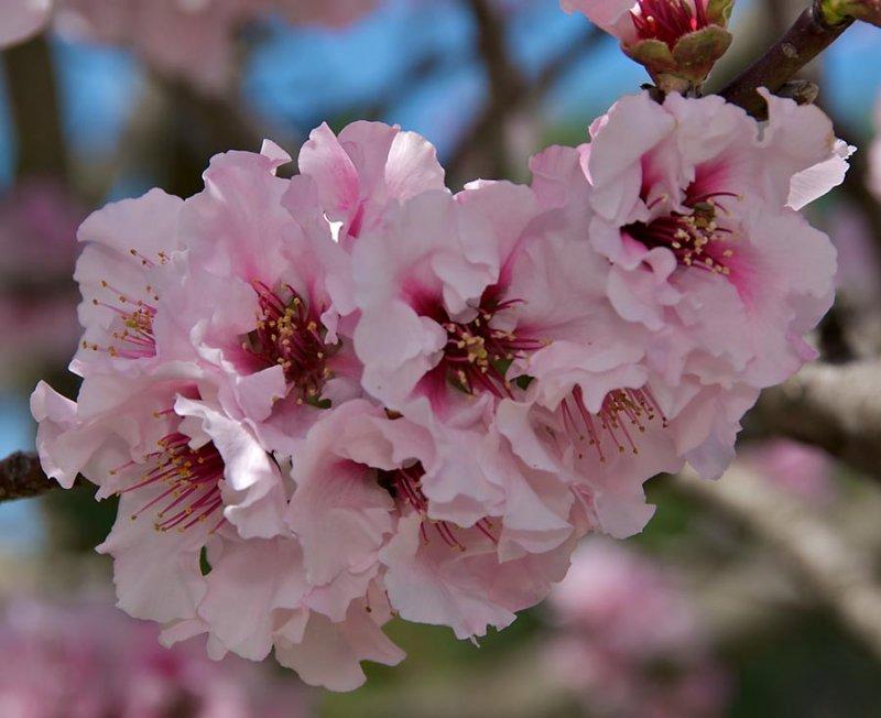 Flowering Nectarine