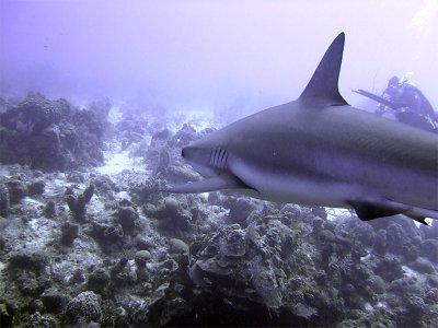 Shark Ahoy