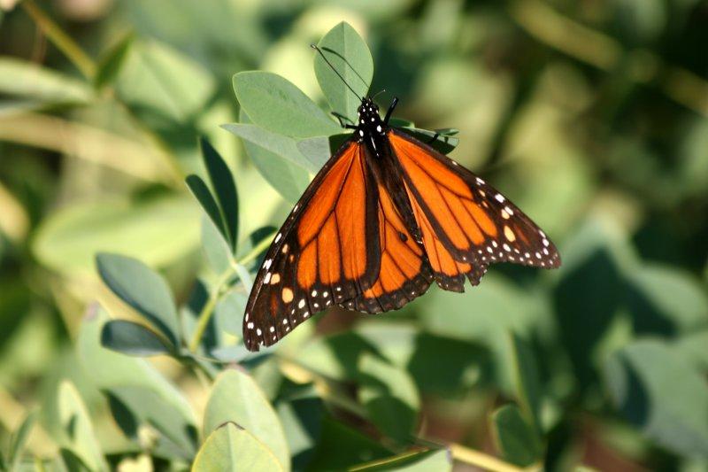 Monarch & Butterfly Bush