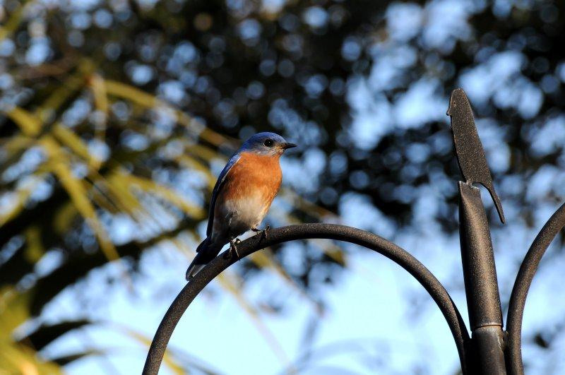 Eastern Bluebird or Sialia sialis