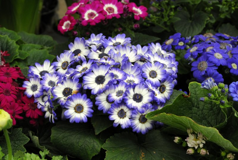 Anenomes - Flower Market