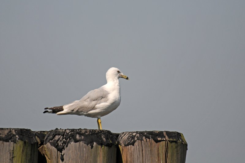 Battery Park - Gull at Pier 2
