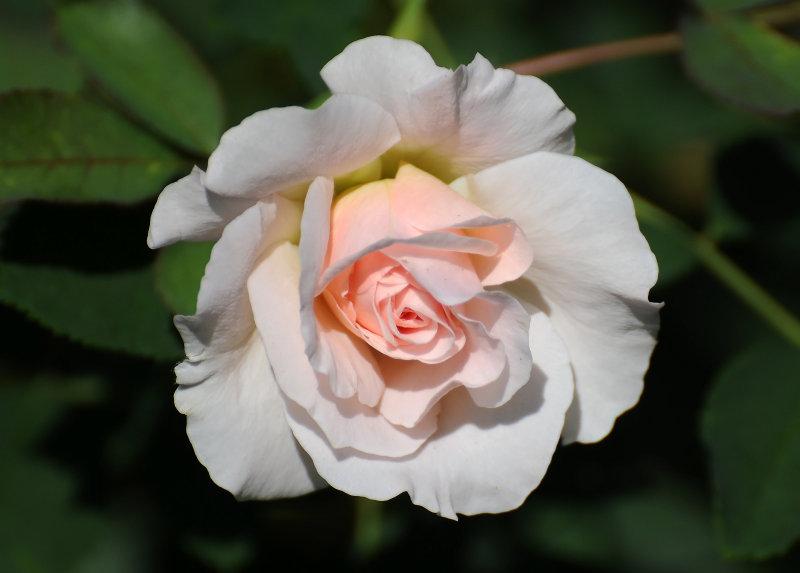 Morden Blush Rose