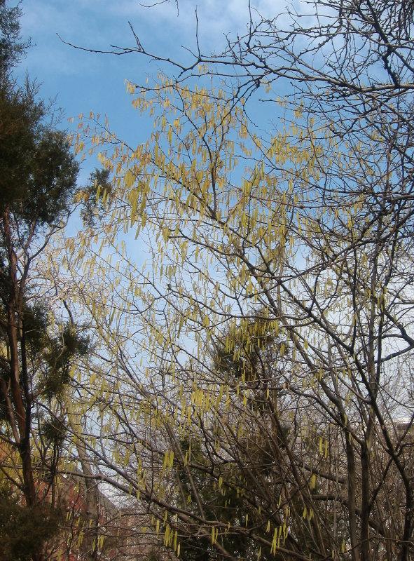 Corylus or Hazel Tree
