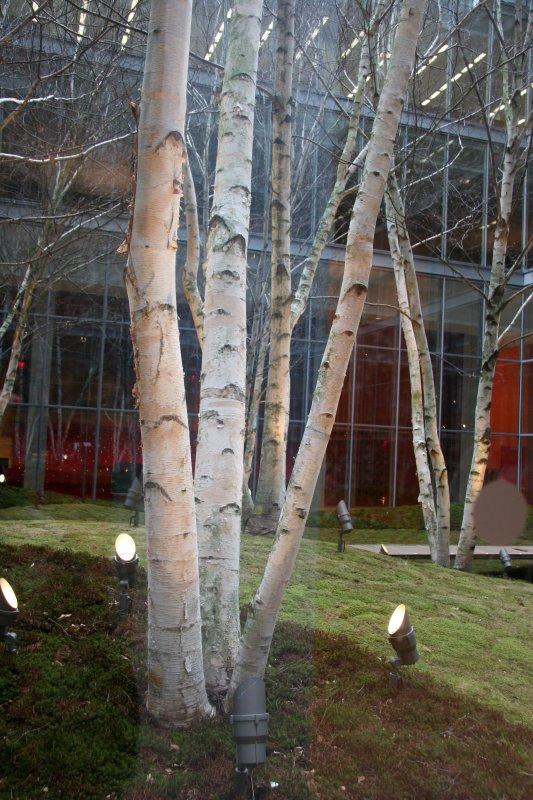 NY Times Building - Interior Birch Tree Garden