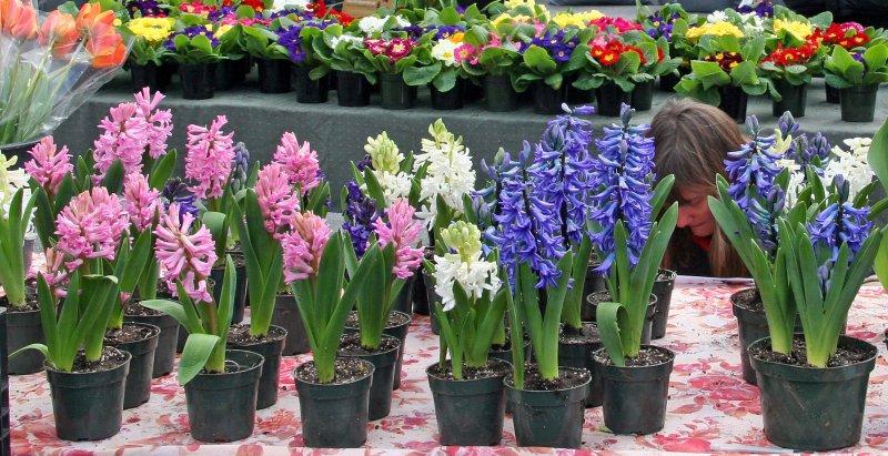 Farmers Market - Hyacinths