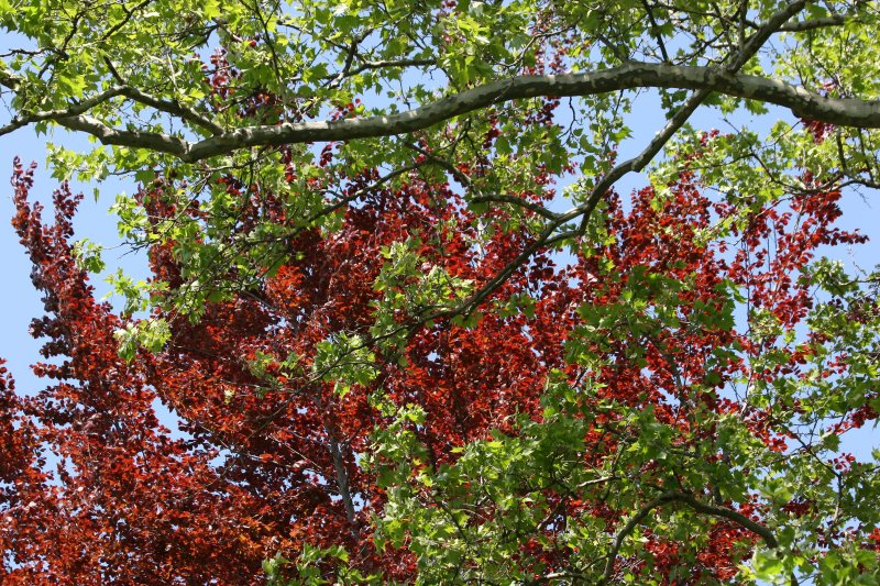 Beech and Sycamore Tree Foliage