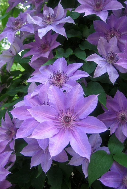Clematis Flower Vine
