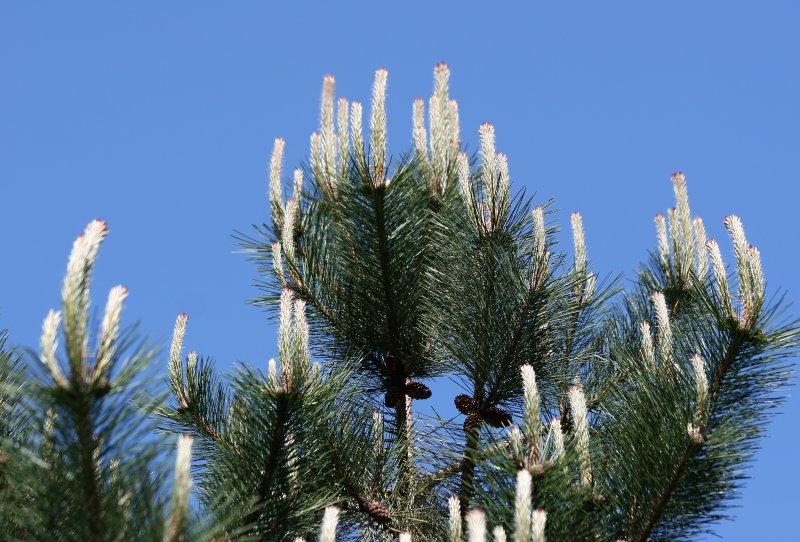 Long Needle Candelabra Pine