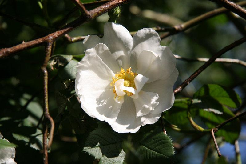 Rose - Liz Christy Community Garden