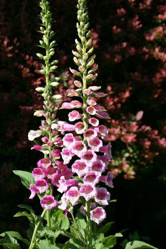 Foxglove - Conservatory Garden