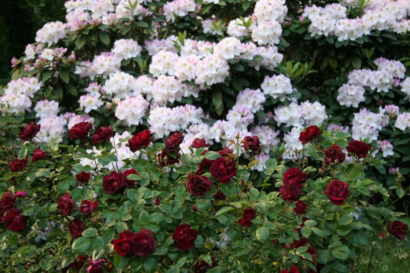 Red Roses & Rhododendron