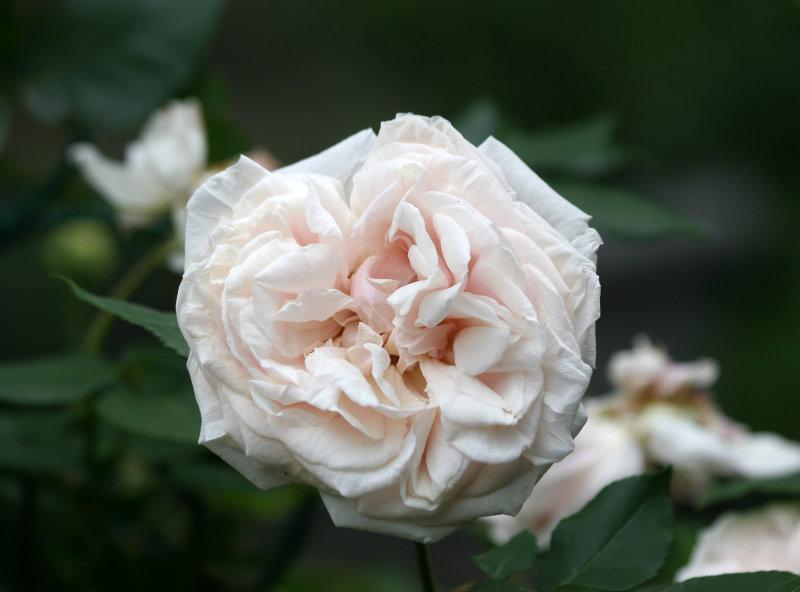 Souvenir de la Mal Maison Rose