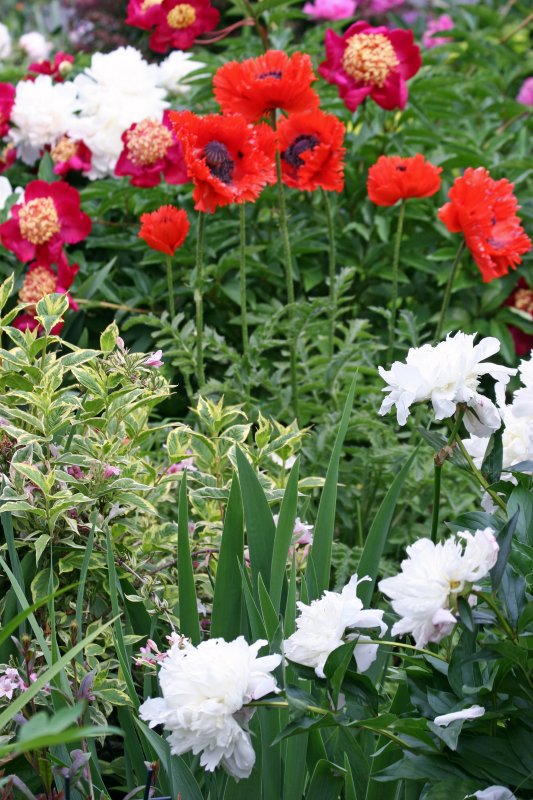 Poppies & Peonies