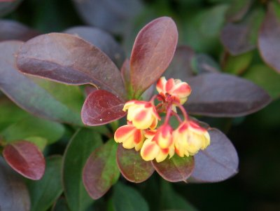 Barberry Bush Blossoms