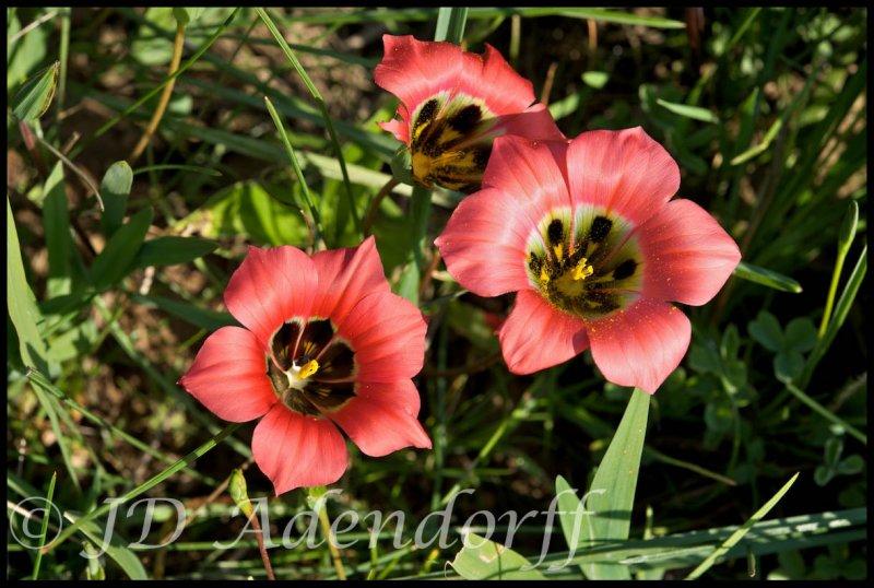 Romulea sabulosa, Iridaceae