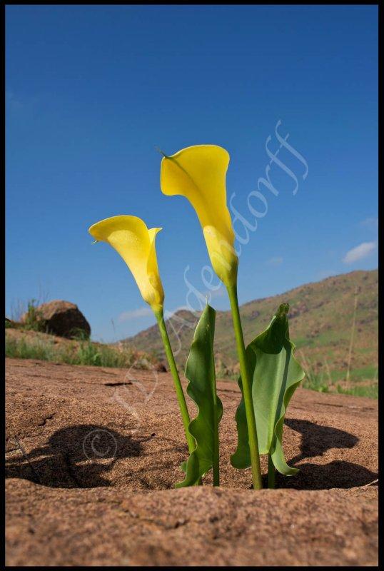 Zantedeschia jucunda, Araceae