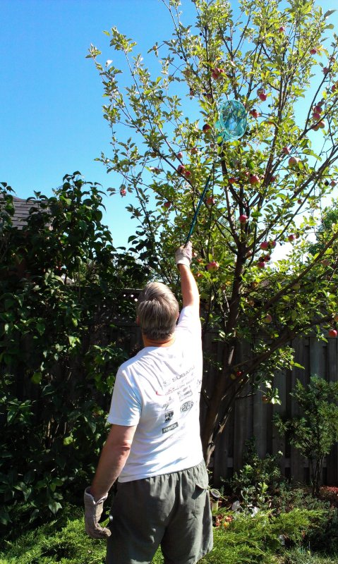 3rd Sept and Pete is harvesting out little tree for an apple crumble!