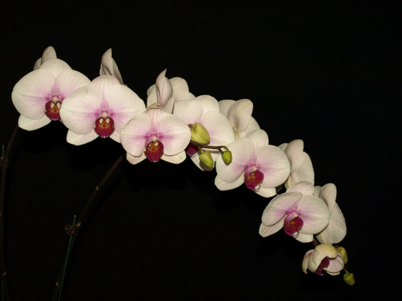 20082280 - Dtps. Mount Lip Blushing Bride AM/AOS  81 points