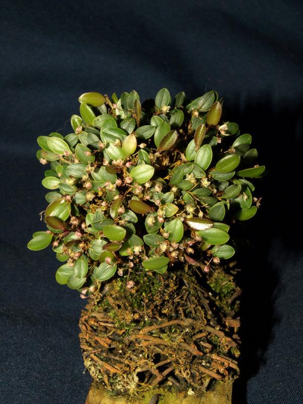 20082283 - Lepanthopsis barahonensis Silas CBR/AOS
