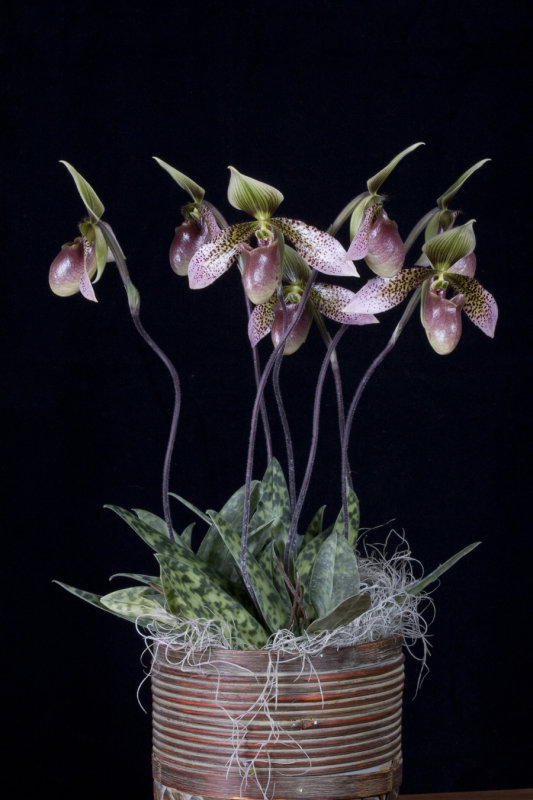 20083182 - Paph. Nisqually Asuko CCM/AOS 85 points