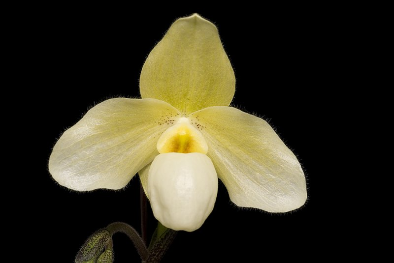 20083436 - Paph. Becky Fouke Omaha AM/AOS 83 points