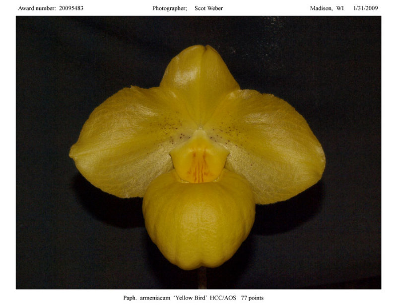 20095483 - Paph armeniacum Yellow Bird HCC/AOS 77 pts.