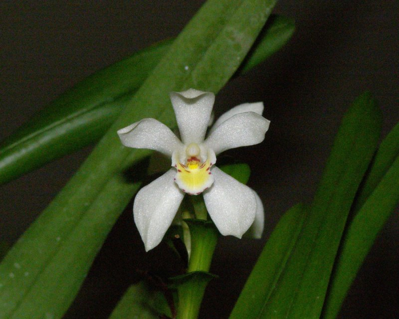 20105434  -  Carmaridium ochroleucum Sue G  CBR Close-up.jpg