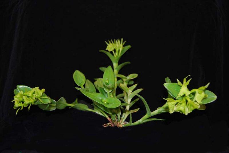 20113303 Epidendrum Volgoamparoanum Sunprarie CBR AOS 1-8-2011