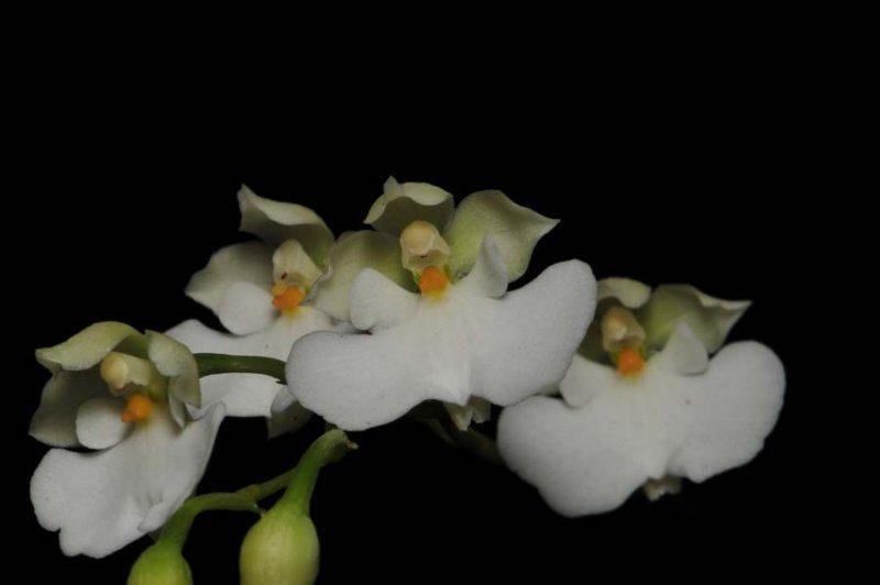 20107119  -   Caucea nubigenum var. alba Angel Andretta JC AOS.jpg